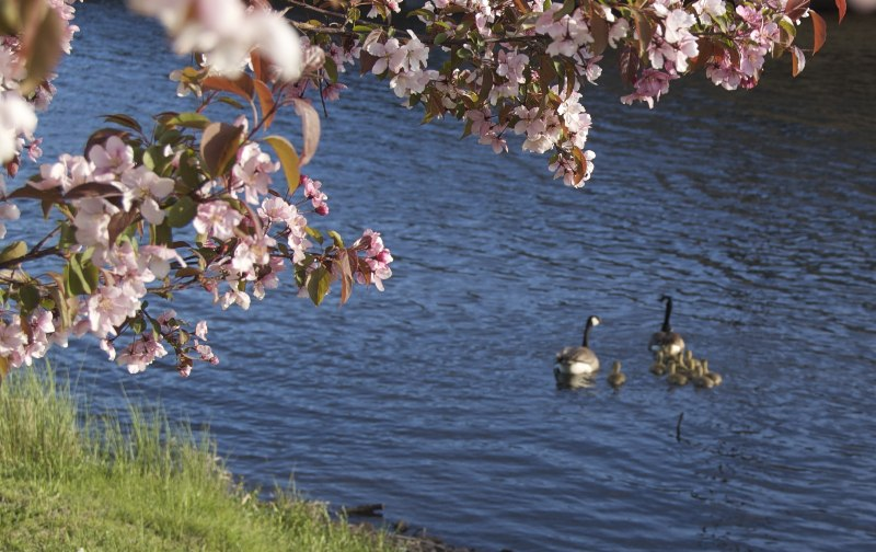 Spring Goslings on the Floodway