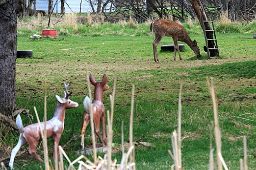 FILE – City council voted to keep the by-law prohibiting feeding of deer with no exceptions.