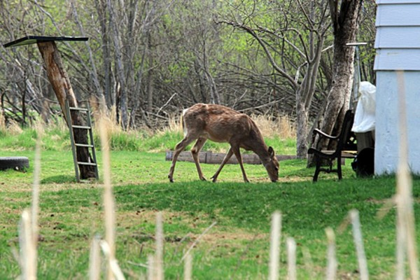 FILE – a deer finds something to eat on Mission Island in May.