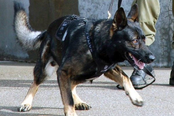 Police service dog Thunder, who passed away early Thursday morning, was on duty in this photo posted Oct. 25, 2013 on the TBPS