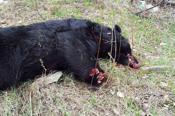 Police have discovered a mutilated bear corpse and are trying to find out who is responsible. The bear appears to have had its paws cut off with some kind of saw.
